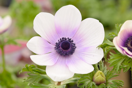 anemone flower: White and violet Anemone flower