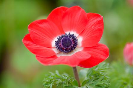 anemone flower: Red Anemone fiore Archivio Fotografico