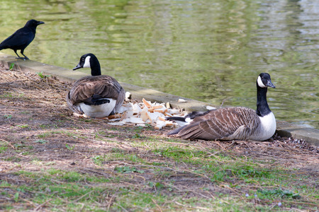 guarding: Two Canada geese guarding pile of bread on river bank from crow