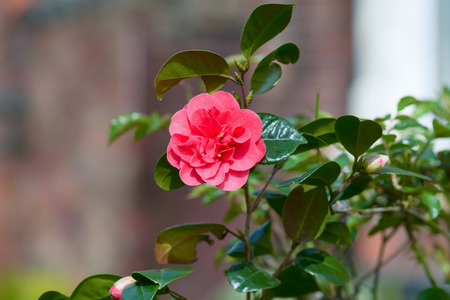 camellia japonica: Camellia Japonica flower Stock Photo
