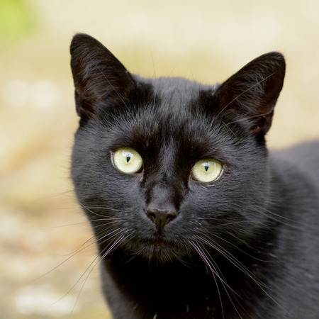 green eyes: Black cat with green eyes portrait Stock Photo