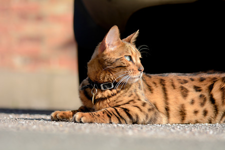 bengal: Bengal cat lying on pavement