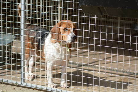 kennel: Beagle dog in kennel in dog rescue centre