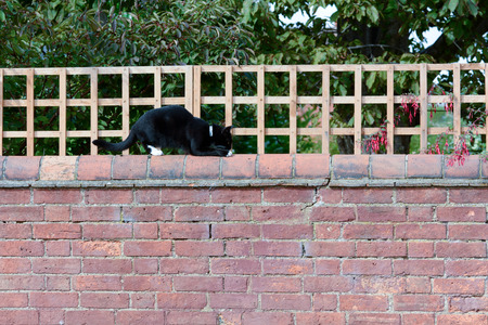 sneaking: Black cat sneaking along top of wall
