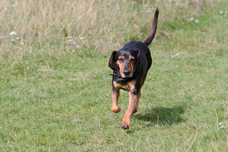 bloodhound: Cypriot Bloodhound