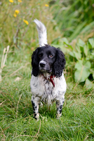 springer spaniel: English Springer Spaniel Stock Photo