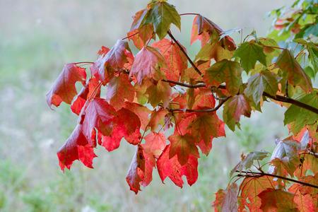sicomoro: �rbol sic�moro hojas en oto�o Foto de archivo
