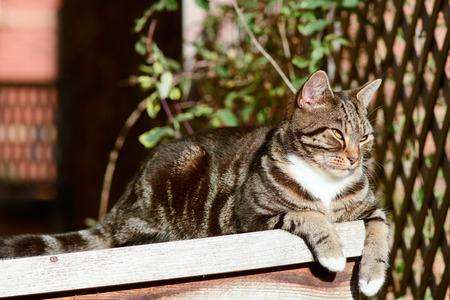 gato atigrado: Tabby gato acostado en el techo cobertizo en el sol