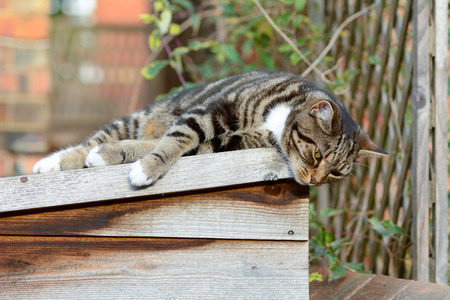 sun roof: Tabby cat lying on shed roof in the sun Stock Photo
