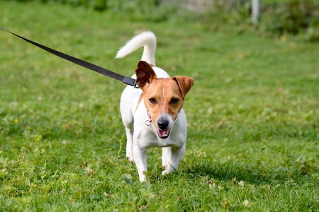 Jack russell dog on lead in park