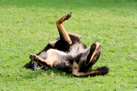 Dog rolling on back on grass