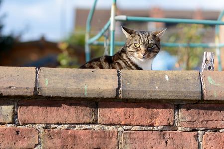 gato atigrado: Gato de Tabby que mira sobre la pared del jard�n Foto de archivo