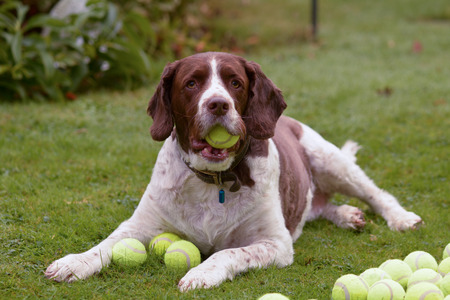 springer spaniel: Springer spaniel hoaring tennis balls Stock Photo
