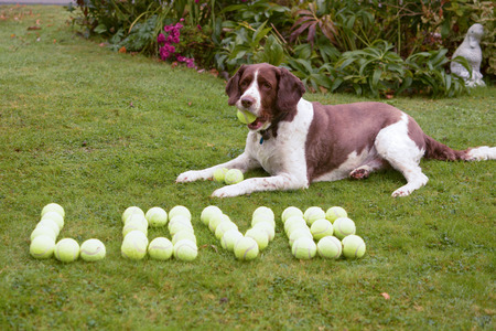 springer spaniel: Springer spaniel dog  love tennis balls Stock Photo