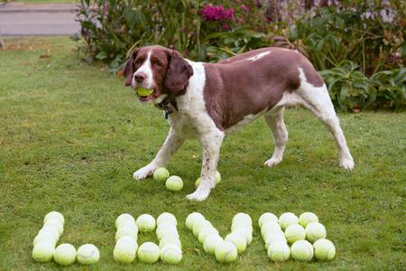 hoard: Springer spaniel dog  love tennis balls Stock Photo