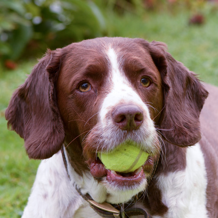 springer spaniel: Springer spaniel with tennis ball in mouth