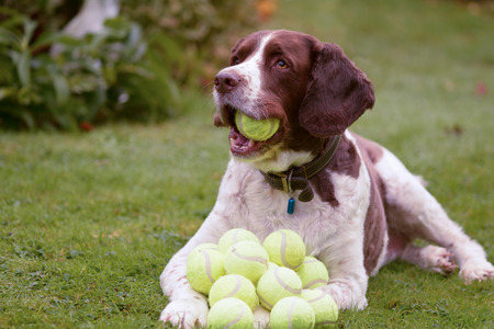 Springer spaniel dog hoarding tennis balls Stock Photo