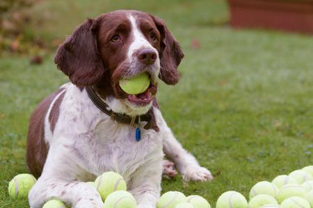 hoarding: Springer spaniel dog hoarding tennis balls Stock Photo