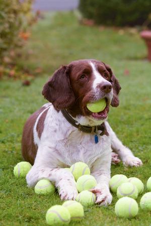 hoard: Springer spaniel dog hoarding tennis balls Stock Photo