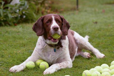 springer spaniel: Springer spaniel dog hoarding tennis balls Stock Photo