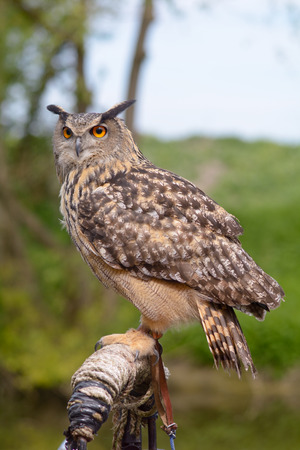 European Eagle Owl on perch Stock Photo