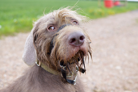 pointer dog: Slovakian Rough Haired Pointer Dog portrait
