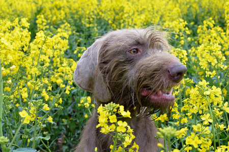 pointer dog: Slovakian Rough Haired Pointer Dog in rapseed field