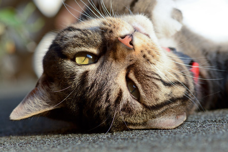 gato atigrado: Gato atigrado al rev�s en arrojar la azotea en el sol