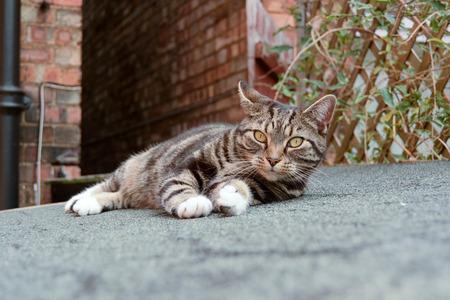 gato atigrado: Gato de Tabby en el techo cobertizo