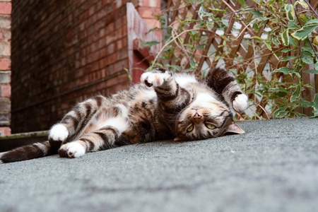 cat stretching: Tabby cat upside down on shed roof Stock Photo