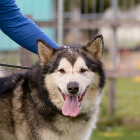 stroked: Malamute being stroked Stock Photo