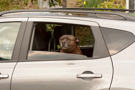 back seat: Staffordshire bull terrier looking out of back seat window of car Stock Photo