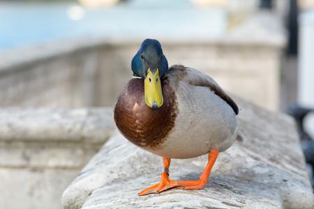 mallard duck: Mallard duck stood on wall