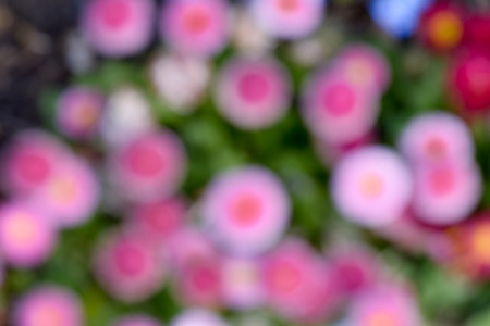 pink daisy: Pink daisy flower abstract background