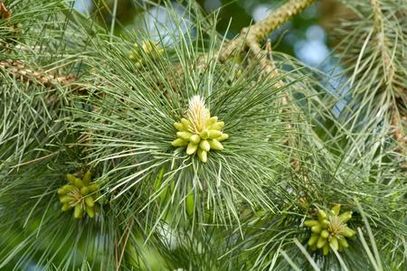 Pine cone: Nouveau c�ne de pin de plus en plus sur l'arbre Banque d'images