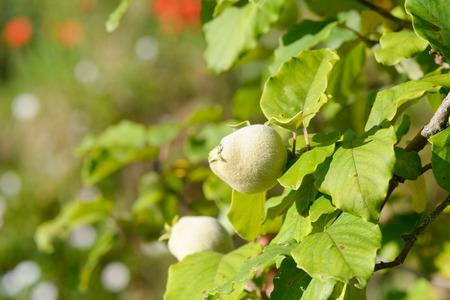 membrillo: Quince crece en árbol