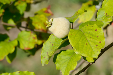 quince: Quince growing on tree Stock Photo