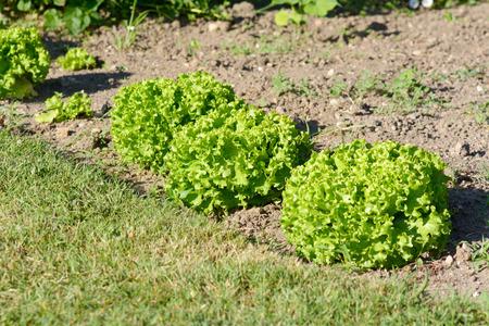 lettuces: Row of lettuces in garden