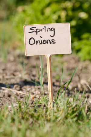 spring onions: Spring onions - garden label Stock Photo
