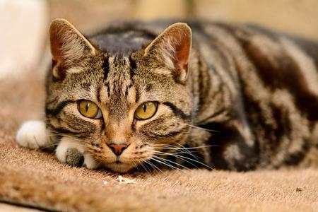 gato atigrado: Tabby cat lying on mat