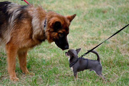 sniffing: German Shepherd and Chihuahua dogs sniffing noses