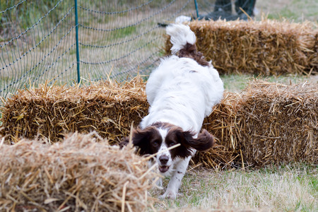 springer spaniel: English springer spaniel dog on agility course