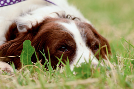 springer spaniel: English springer spaniel dog lying in grass