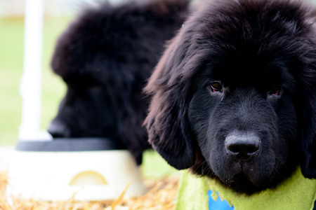 newfoundland dog: Newfoundland dog portrait