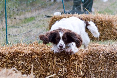 agility: English springer spaniel dog on agility course