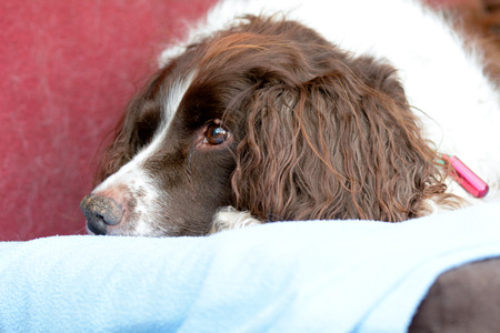 springer spaniel: English Springer Spaniel dog portrait