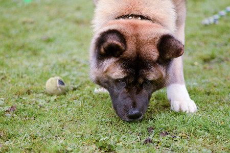 sniffing: Akita dog sniffing grass in park Stock Photo