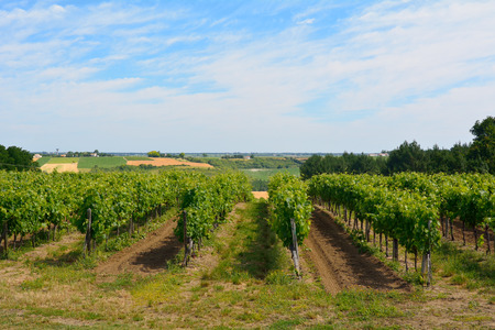 french countryside: Grape vines in vineyard in French countryside Stock Photo