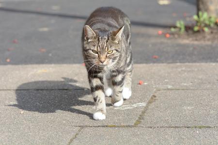 gato atigrado: Tabby cat walking on pavement