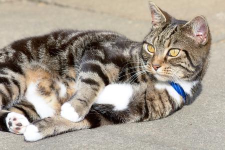 gato atigrado: Gato atigrado vuelco en el pavimento